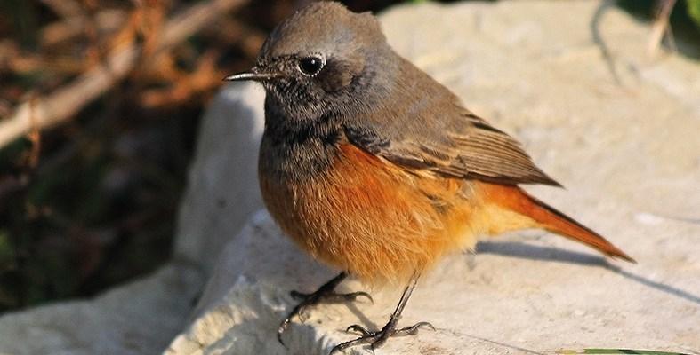 Eastern Black Redstart1