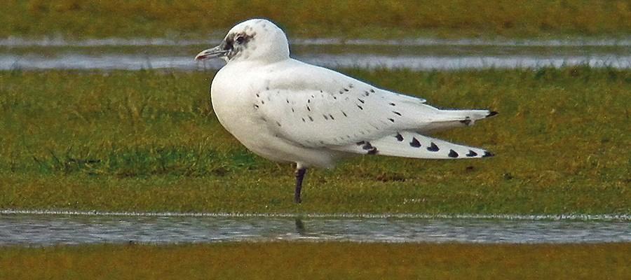 Ivory Gull  1st winter bird  Seahouses  071213a  Mike S Hodgson