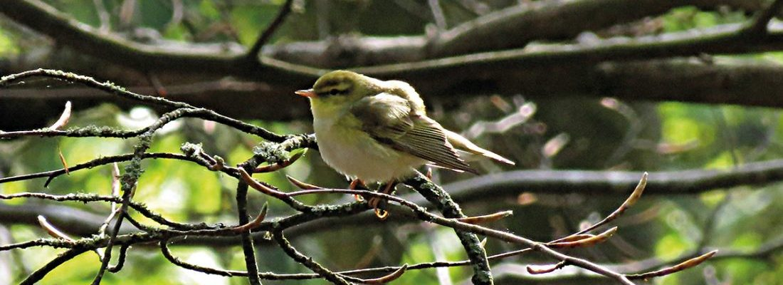Wood Warbler 090512a  Mike S Hodgson