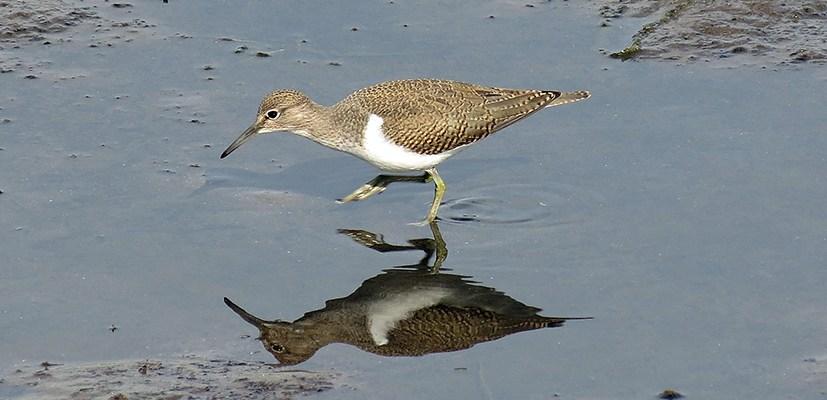 Common Sandpiper 140812b Mike S. Hodgson