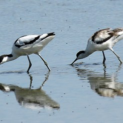 Avocet adult and juvenile 210716a Mike S Hodgson
