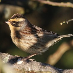 Siberian Accentor1 - Holy Island, Oct, Andy Mould