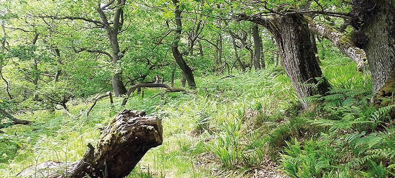 oak wood holystone burn