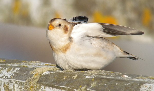 Snow Bunting male 061210c Blyth South Harbour - Mike S Hodgson