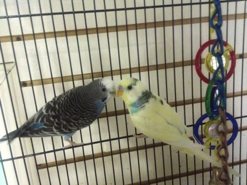 Parakeets_web