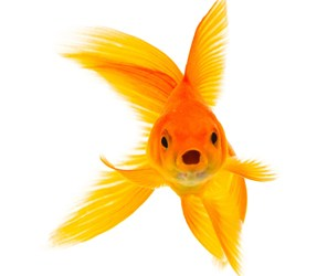 goldfish_web