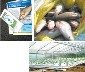 Top photos courtesy Amy Rowe; bottom photo by Ron Leir Essex County veterans, working with the Rutgers VETS program, provide Passaic River anglers with warnings not to eat fish from the polluted river and exchange fresh tilapia for the fish caught by anglers from the river, as shown above. At right: plants being grown at greenhouse where the tilapia are harvested.