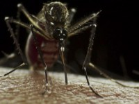 The Aedes aegypti mosquito is one of several species that carries Zika virus.
