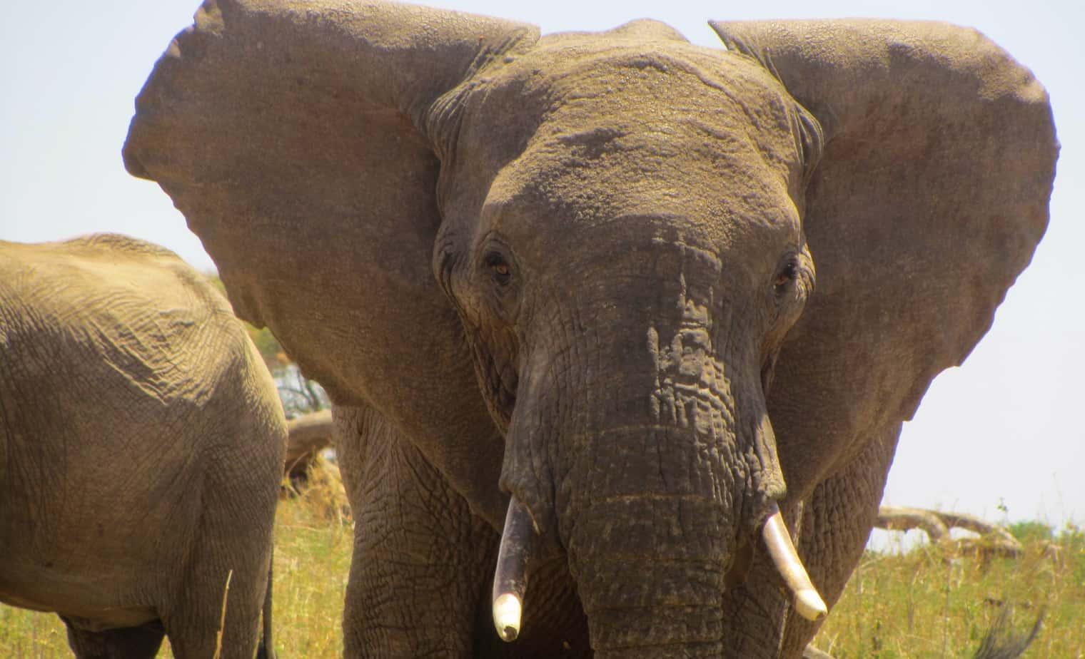 Elephant Front