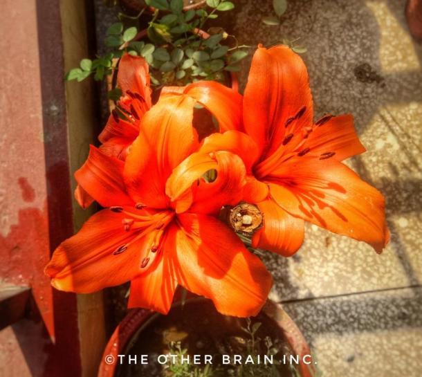 Stargazer Orange Bloom - Winter flowering plants to grow in India