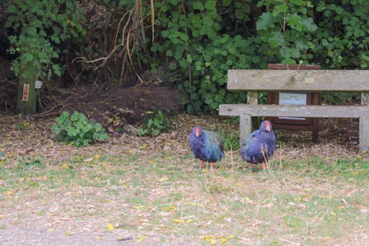 Takehe at Zealandia - one of New Zealand's rarest bird species
