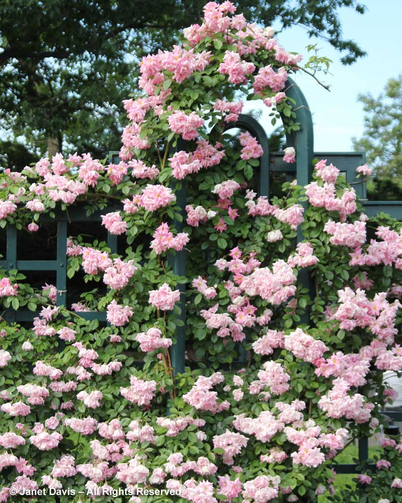 Large Of Peggy Martin Rose