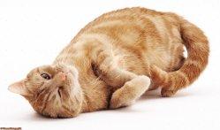 Small Of Vestibular Disease In Cats