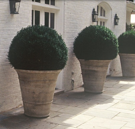 oversized potted boxwoods