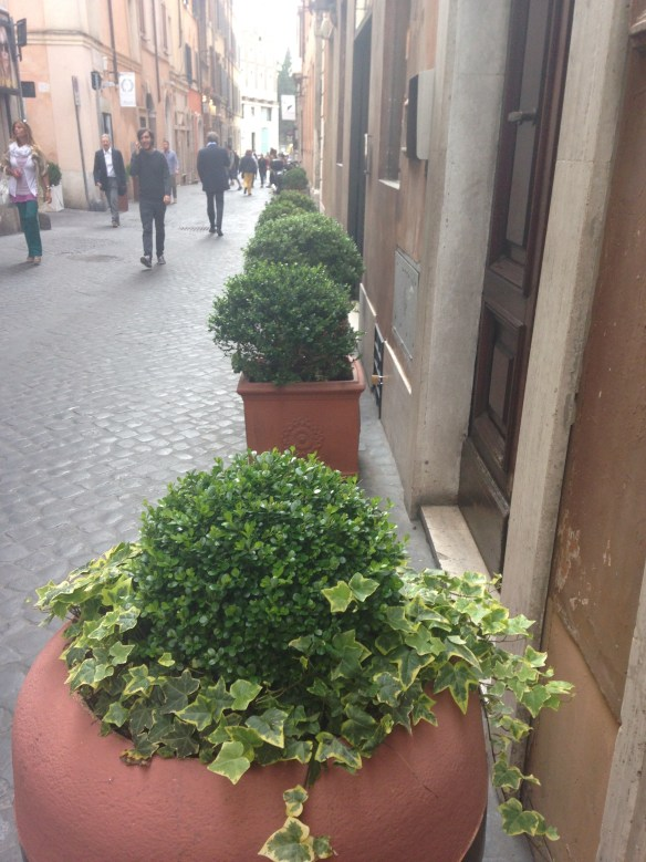 Boxwoods in a Row Rome