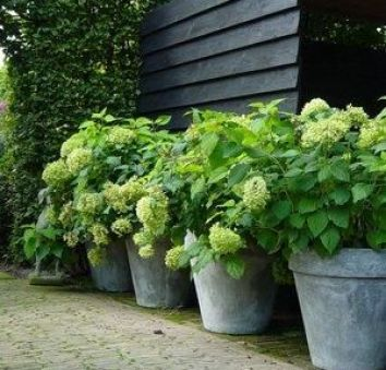 Green Potted Hydrangeas