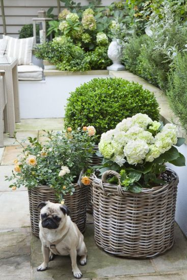 Pug and Potted Boxwood