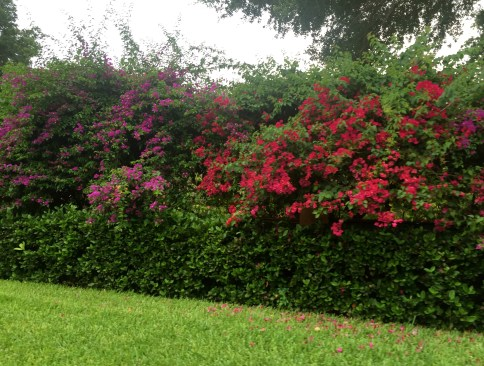 Florida bougainvillea by The Potted Boxwood. 3