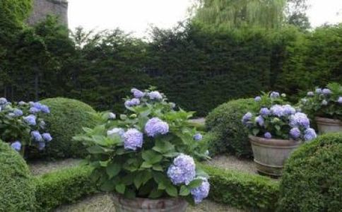 Potted-Hydrangeas-via-The-Fuller-View