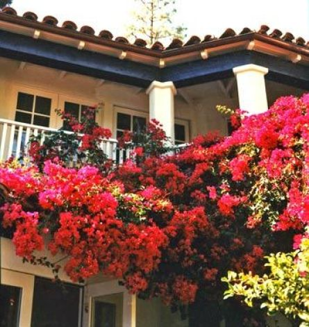 bougainvillea on the balcony of Amanda Peets LA home