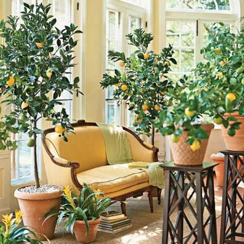 Potted Citrus indoors via Southern Accents