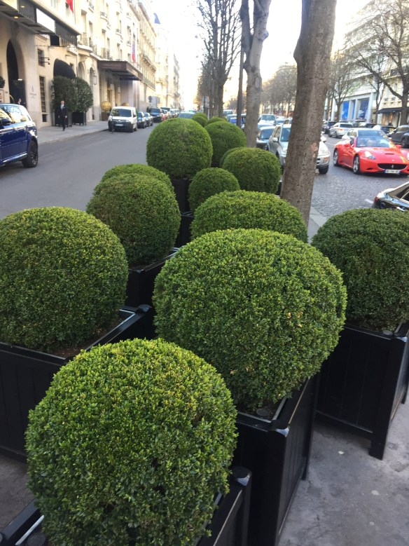 Beautiful Parisian Boxwood photo by Christina Dandar for The Potted Boxwood