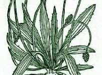 plantainlancolatagreen