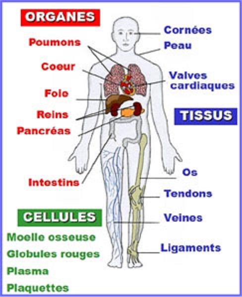 Greffe et organes concernés, schéma ADOT- ThePrairie.fr !