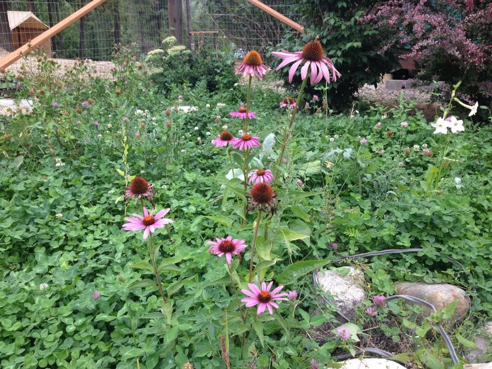 Medicinal Herb – Echinacea