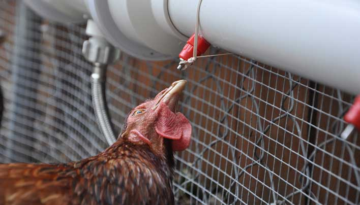 This automatic chicken waterer keeps the water clean and the chickens happy.