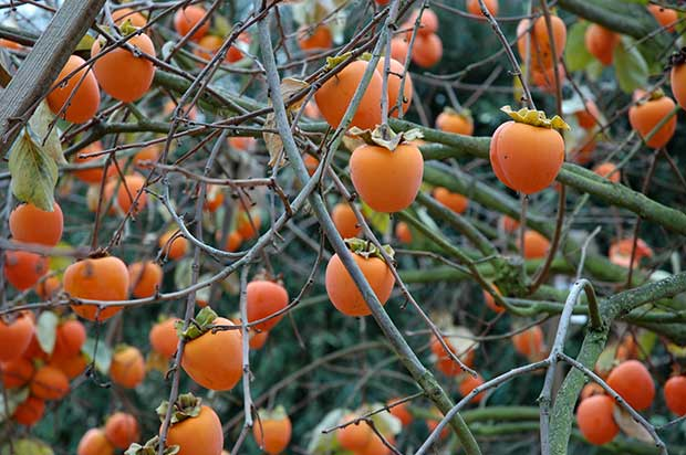 Persimmons are rich in vitamins A and B, and are a good source of fiber. To get the most nutritional value from persimmons, it's best to eat them raw.