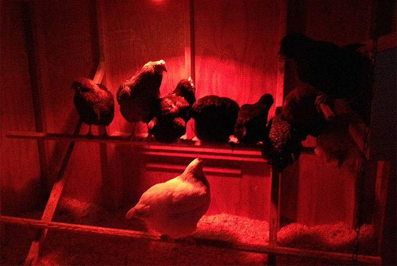 Shedding a little light on the issue of fewer eggs in the winter.