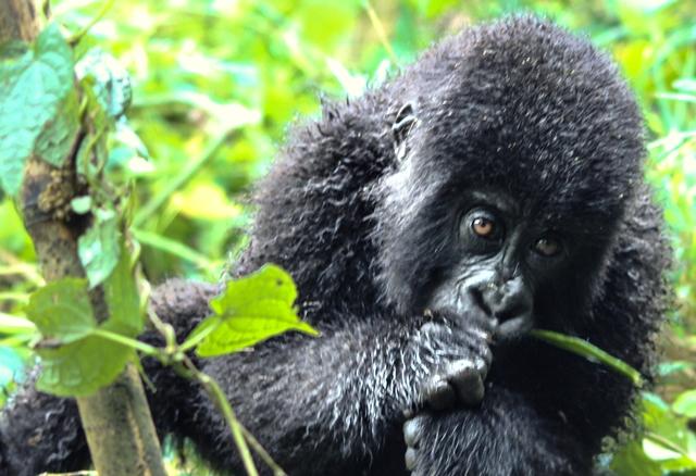 Baby gorilla eating bamboo in Rwanda - image zoedawes