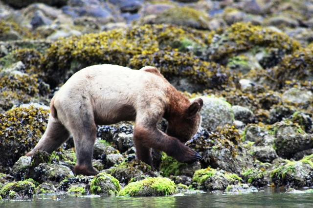 Grizzly Bear Cub looking for food on Knight Inlet shore BC Canada - photo zoedawes