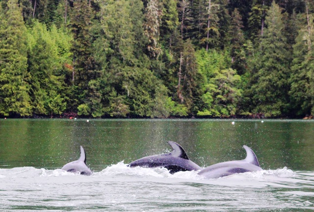 Dolphins at Knight Inlet BC - photo zoedawes