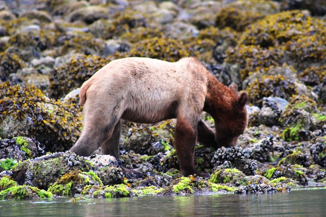 Grizzly bear turning over stones Knight Inlet Canada - photo zoedawes