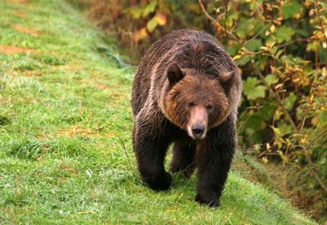 Grizzly Bear - Great Bear Rainforest British Columbia image CTC