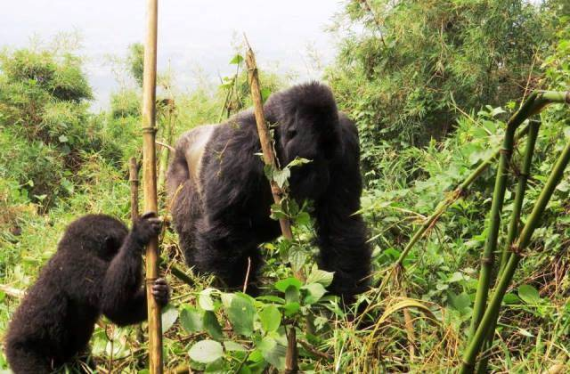 Mountain gorillas in Rwanda - David Craig