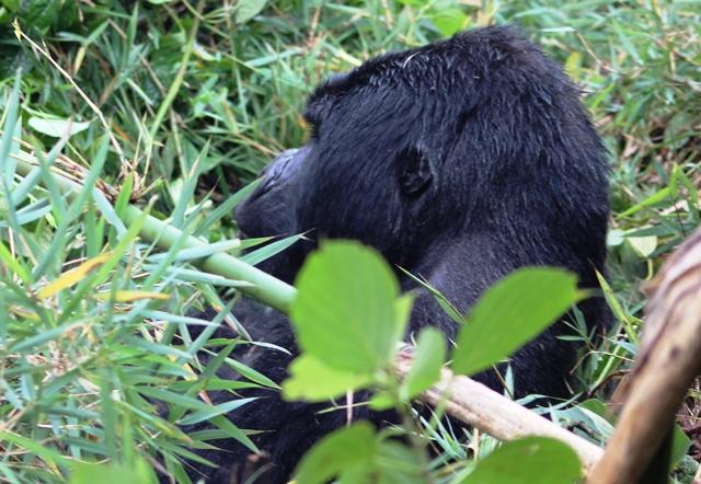 Silverback mountain gorilla in Rwanda - image zoedawes