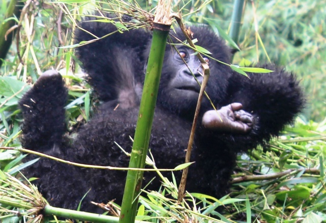 Young gorilla lying down Rwanda - zoedawes