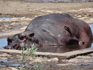 Another dying hippo, trying to find relief in a water trough seemingly unable to get out again