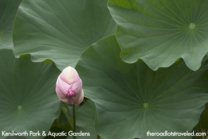 Closed Lotus in Kenilworth Park & Aquatic Gardens