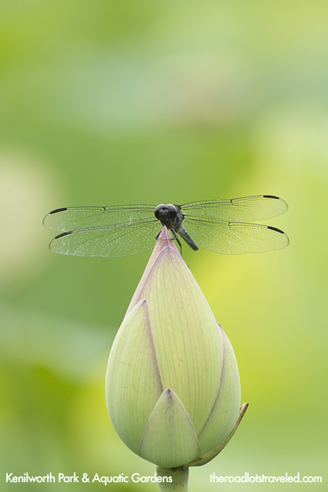 Dragonfly on a closed Lotus Flower in Kenilworth Park & Aquatic Garden