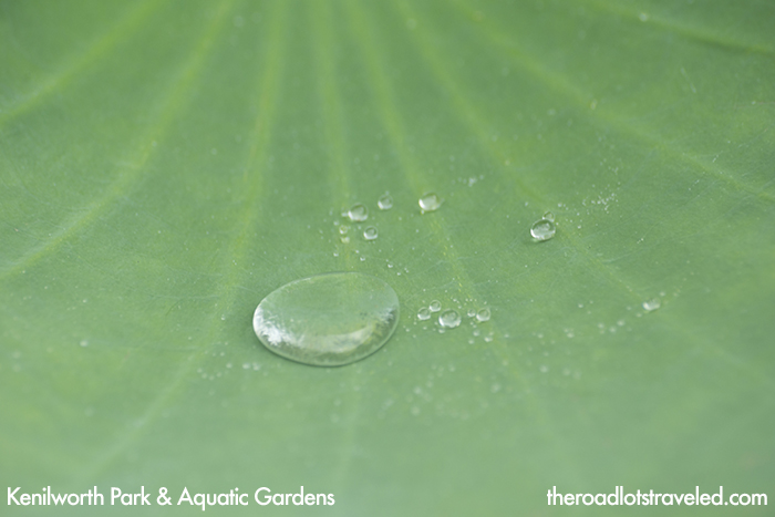 Droplets form on the leaf of a lotus at Kenilworth Park & Aquatic Garden