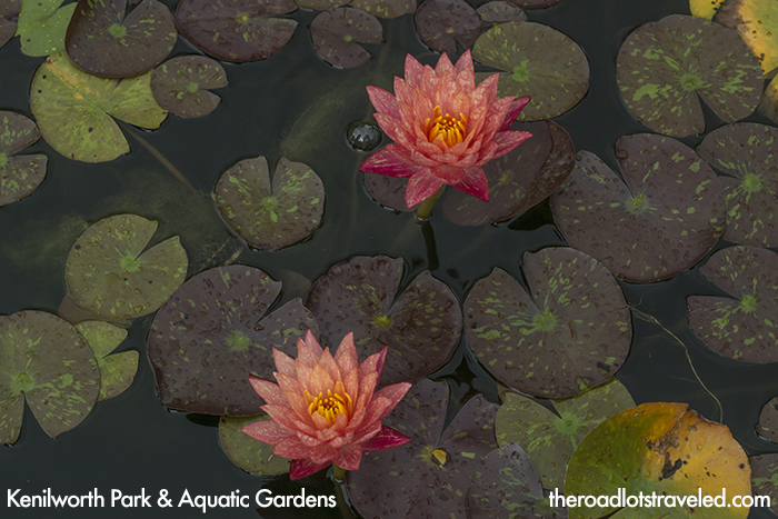 Water Lilies in Kenilworth Park & Aquatic Gardens