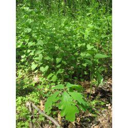 Small Crop Of Dark Oak Sapling Wont Grow