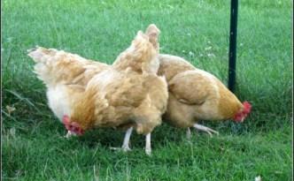 Buff Orpington hens