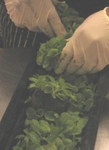 Baby mache for the salad bar at Washington Jesuit Academy
