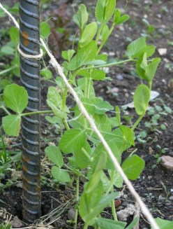 A different method of staking snap peas