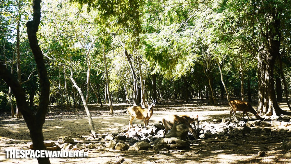 komodo-island-28-deers